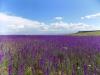 Цветущие поля Армении