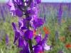 Сиренивеньковые цветочки